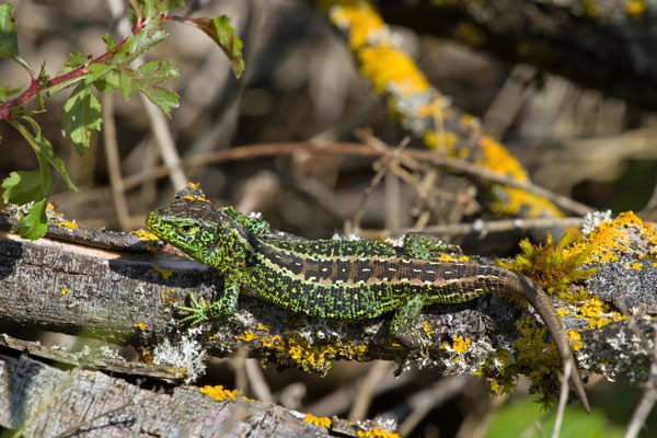 Lézard des souches, Lacerta agilis. (Mailly le camp)