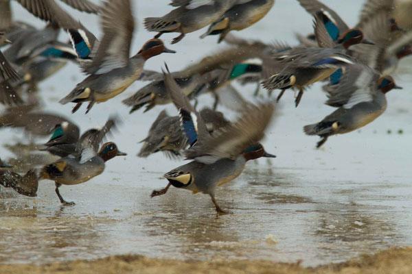 Sarcelles d'hiver, Anas crecca (Lac d'Orient)