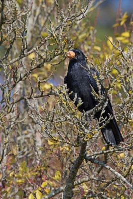 Corneille noire, Corvus corone. (Romain).