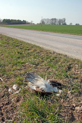 Buse variable victime de la circulation. (Dierrey-Saint-Pierre)