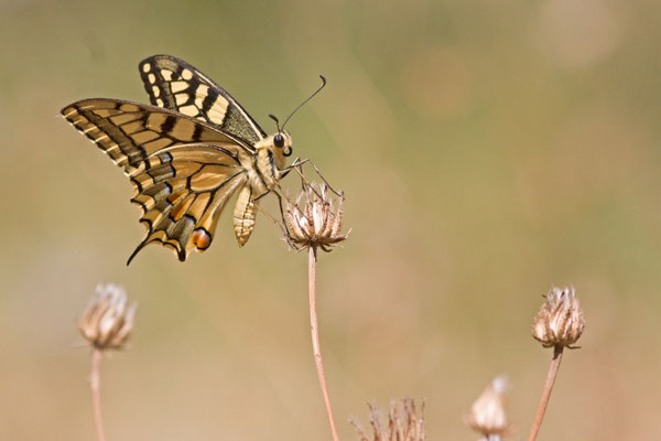 Machaon, Papilio machaon. (Saint-Mandrier)