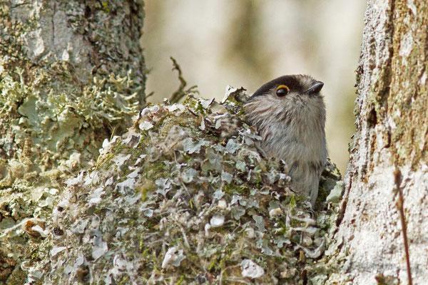 Mésange à longue queue. Aegithalos caudatus. (Lusigny-sur-Barse)