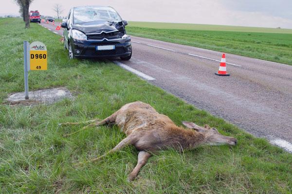 Cerf élaphe, Cervus elaphus percuté par une voiture. (Mesnil-Sellières)