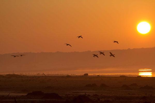 Oies cendrées, Anser anser (lac d'Orient).