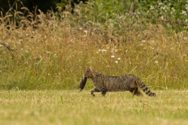 Chat sauvage, Felis silvestris. (Ardennes)