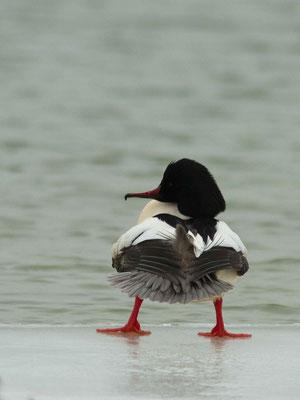 Harle bièvre, Mergus merganser (Lac d'orient)