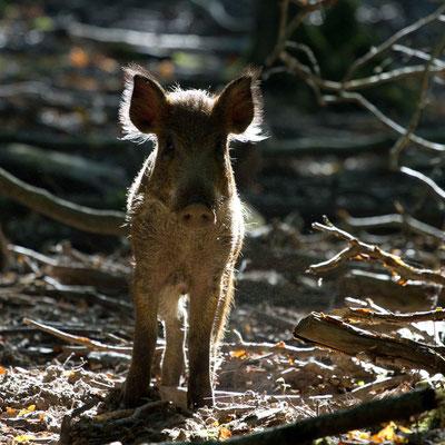 Sanglier, sus scrofa. (Parc naturel régional de la forêt d'Orient)
