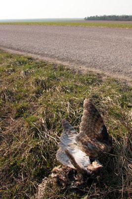 Chouette effraie victime de la circulation.  (Dierrey-Saint-Pierre)