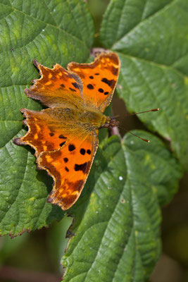 Robert-le-Diable, Polygonia c-album. (Marais de Saint-Gond)