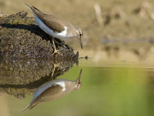 Chevalier guignette, Actitis hypoleucos. (Lac du temple, étang de Frouasse).