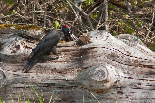 Pic noir, Dryocopus martius. (Mesnil-Saint-Père)