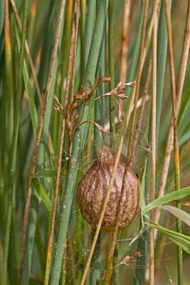 Oothèque Argiope fasciée, argiope bruennichi