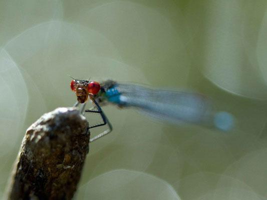 Naïade aux yeux rouges, Erythromma najas. (Parc naturel régional de la Forêt d'Orient)