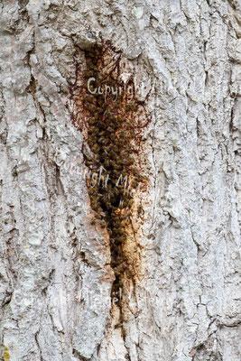 Essaim d'abeilles domestiques dans un arbre. (Marne).