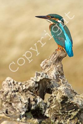 Martin-pêcheur d'Europe, Alcedo atthis. (Lac de la forêt d'Orient).