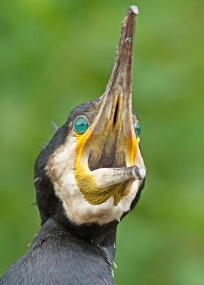 Grand Cormoran, Phalacrocorax carbo. (Parc naturel régional de la forêt d'Orient)