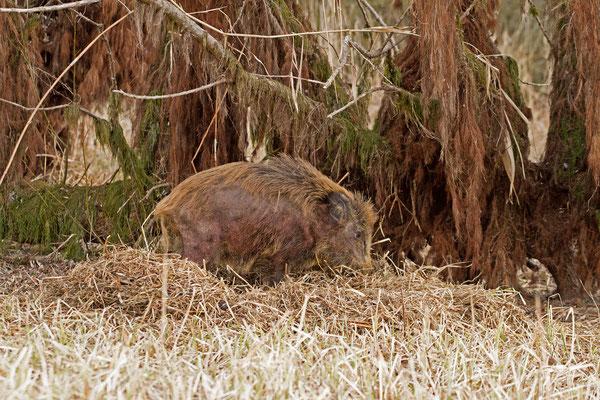 Sanglier dans son chaudron, sus scrofa. (Parc naturel régional de la forêt d'Orient)