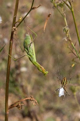 Mante religieuse, Mantis religiosa. (Dierrey-Saint-Julien)