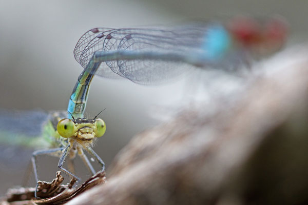 Accouplement naïade aux yeux rouges, Erythromma najas. (Parc naturel régional de la Forêt d'Orient)