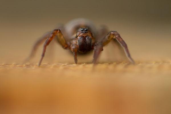 Lycosidae, araignée-loup. (Parc naturel régional de la forêt d'Orient)