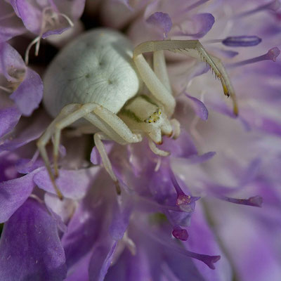 Araignée crabe, Misumena vatia. (Chennegy)