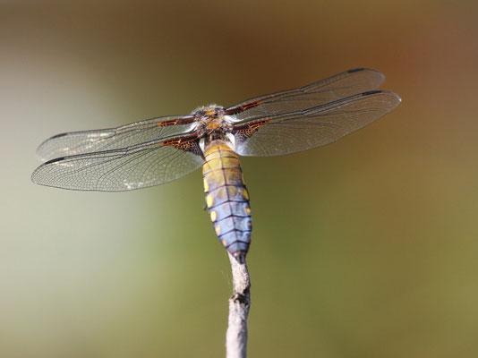 Libellula depressa - mâle. (Dierrey-Saint-Julien)