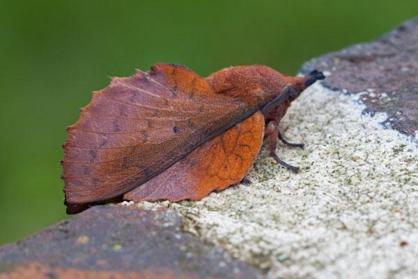 La Feuille morte du chêne, Gastropacha quercifolia.