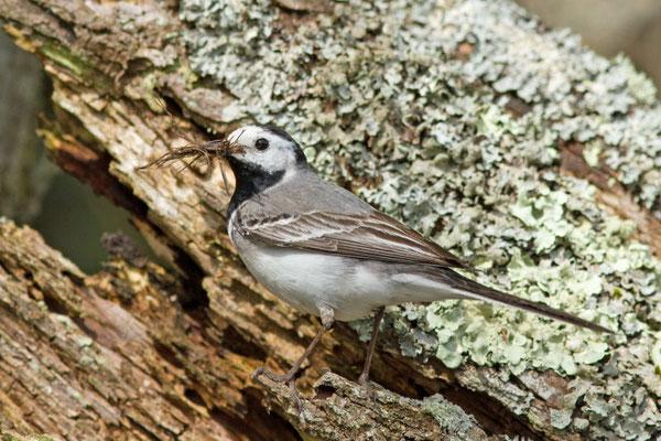 Bergeronnette grise, Motacilla alba.  (Parc naturel régional de la forêt d'Orient)
