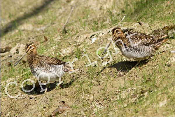 Bécassine des marais, Gallinago gallinago. (Lusigny-sur-Barse).