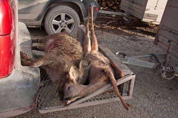 Chevreuil et sanglier victime de la chasse. (La Giberie)