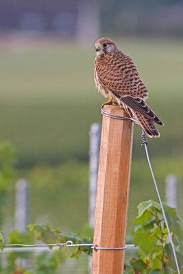 Faucon crécerelle, Falco tinnunculus. (Saint-Euphraise-et-Clairizet)