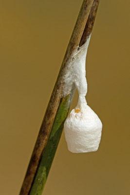 Cocon d'Agroeca sp