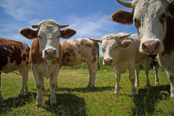 Vaches, Bos taurus. (Aube)