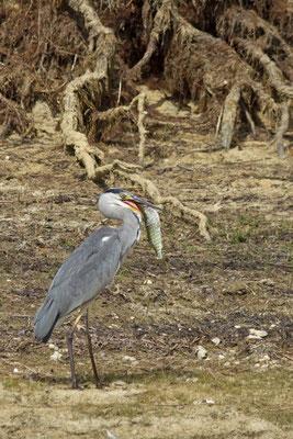 Héron cendré et brochet. Ardea cinerea et Esox lucius (Parc naturel régional de la forêt d'Orient)