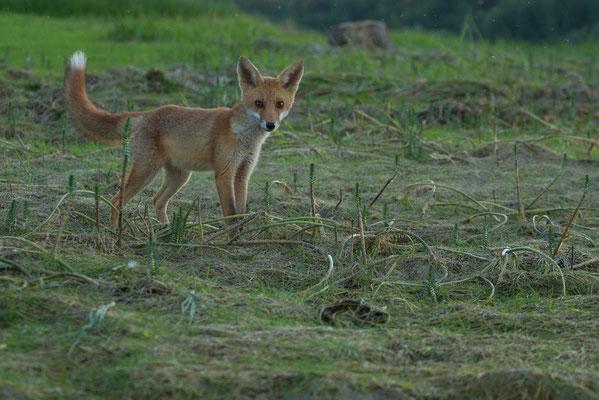 Renard, Vulpes vulpes.(Parc naturel régional de la forêt d'Orient).