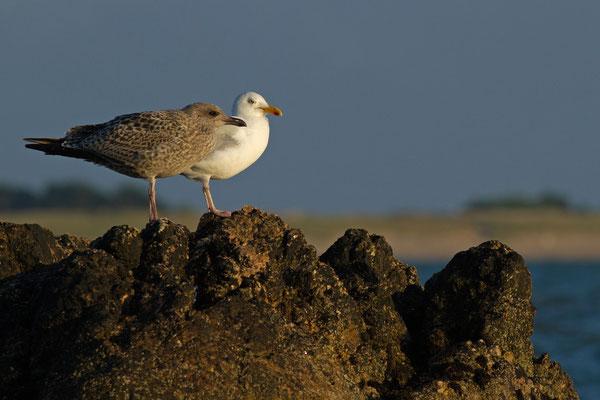 Goéland argenté, Larus argentatus. (île de Noirmoutier)