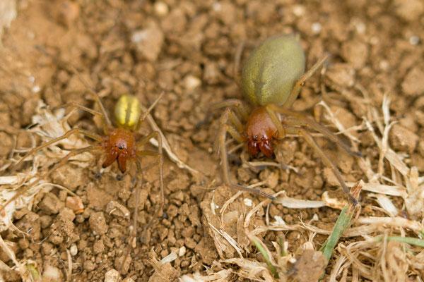 Cheiracanthium erraticum ? mâle et femelle. (Pavillon-Sainte-Julie)