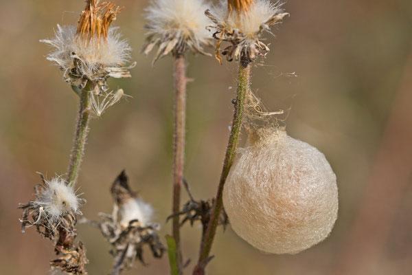 Oothèque d'Argiope bruennichi