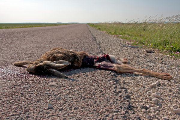 Lièvre commun victime de la circulation. (Mesnil-Saint-Loup).