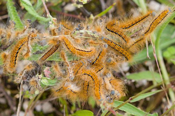 Malacosoma neustria - Bombyx à livrée - Chenille- L'Huitre Mailly