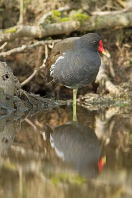 Gallinule poule d'eau, Gallinula chloropus.(Parc naturel régional de la forêt d'Orient)