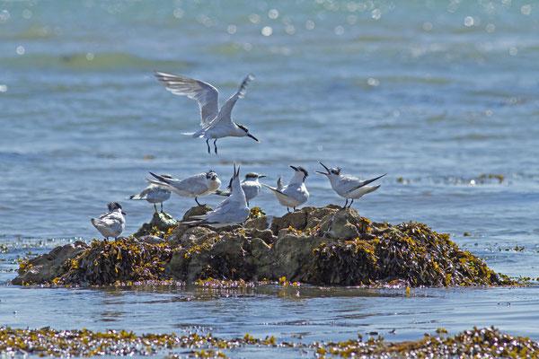 Sterne caugek,Thalasseus sandvicensis. (île de Noirmoutier)