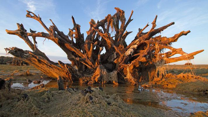 Souche d'arbre. Vestige de la forêt que recouvre aujourd'hui le lac D'Orient.