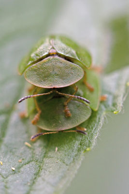 Casside verte, Cassida viridis. (Cunfin)