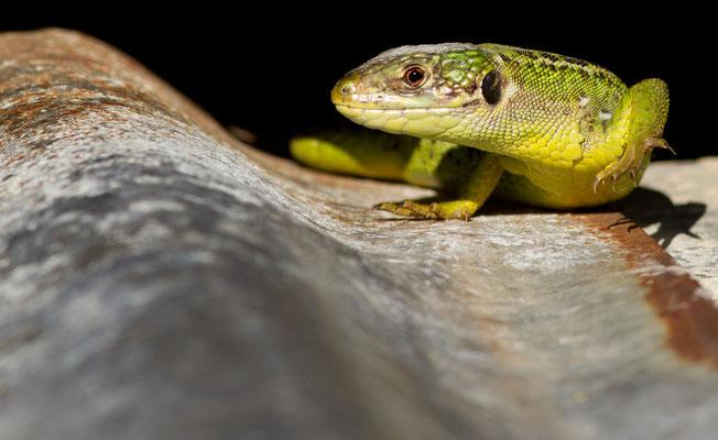 Lézard vert, Lacerta bilineata. (Pelouse calcaire de Montacran, Nogent-sur-Seine)