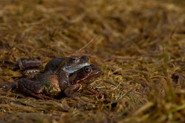 Accouplement de grenouille rousses, Rana temporaria. (Parc naturel régional de la forêt d'Orient)