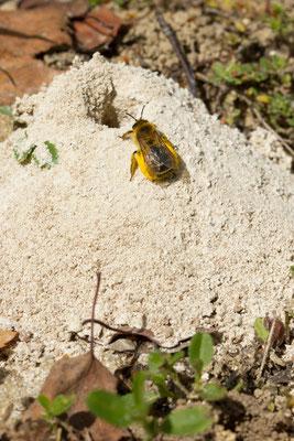 Andrena ... (Montpothier).