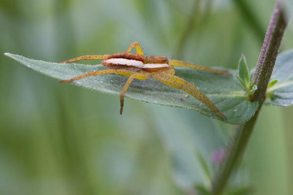 Dolomedes fimbriatus, Dolomedes fimbriatus.(marais de Reuves)