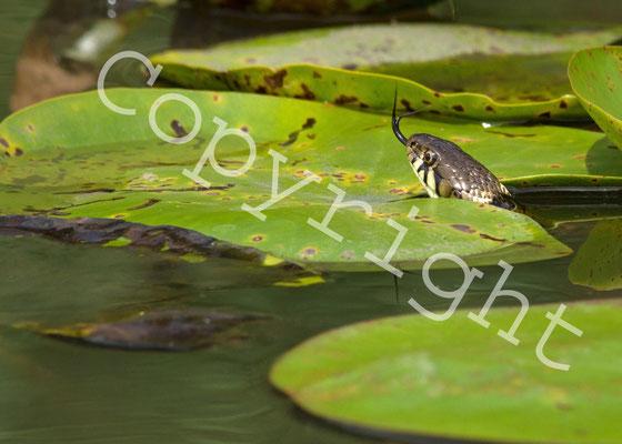 Couleuvre à collier, Natrix natrix. (Parc naturel régional de la forêt d'Orient)