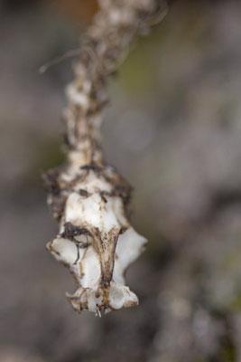 Squelette serpent. Natrix natrix ? (marais de Reuves)